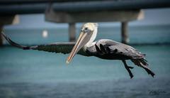 Brown pelican flying. (vickyouten) Tags: brownpelican pelican pelicanflying nature wildlife wildlifephotography americanwildlife nikon nikond7200 nikonphotography nikkor55300mm floridakeys florida usa america vickyouten
