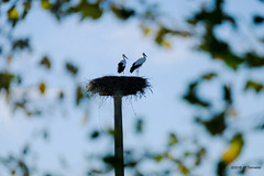 Couple de cigognes (jpto_55) Tags: cigogne oiseau bokeh fuji fujifilm xt20 fujixf55200mmf3548rlmois ariège france domainedesoiseaux