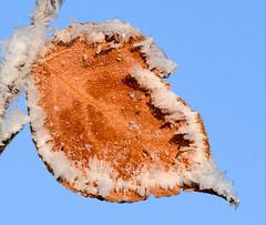 Frosty Leaf (Jane Olsen) Tags: frost winter leaf branch tree sky outdoor