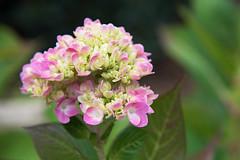 Splash of Pink D7C_8073 (iloleo) Tags: flower hydrangea dof nature pink fall ontario nikon d750
