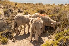 Cordero patagonico (davidthegray) Tags: argentina patagonia penínsulavaldès cordero puntadelgada agnello corderopatagonico lamb pecora sheep
