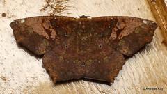 Geometer Moth, Paragonia cruraria, Geometridae (Ecuador Megadiverso) Tags: andreaskay ecuador geometermoth geometridae moth wildsumaco paragoniacruraria