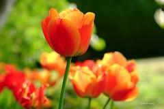 Tulipe (jpto_55) Tags: fleur proxi tulipe xe1 fuji fujifilm fujixf1855mmf284r commercy meuse lorraine france