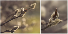 Mixed messages (charhedman) Tags: pussywillows mixedmessages sunlight cold thoughtitwasspringbutwinterfooledus climatechange macro bokeh intheneighboursyard