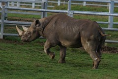Yorkshire Wildlife Park...    10.12.2018 319 (Andrew Burling (SnapAndy1512)) Tags: yorkshirewildlifepark10122018 yorkshirewildlifepark yorkshire blackrhino rhino animals zoo