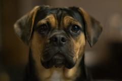 Else (www.altglas-container.de) Tags: else pug haustier dog hund pet puggle