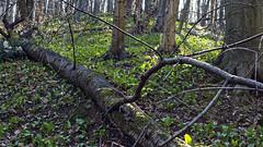 Medvehagyma a Mecsekben, 2019. (☁ ▅▒░☼‿☼░▒▅ ☁) Tags: olympus omd em5mkii minolta rokkor mecsek woods forest medvehagyma alliumursinum