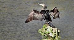 Aalscholver / Cormorant (Meino NL) Tags: aalscholver cormorant vogel bird phalacrocoraxcarbo phalacrocoracidae zwemvogel cormoran