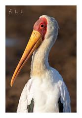Tantale Ibis (FLL087) Tags: oiseau afriquedusud bird nature kruger échassier