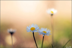 Ultima Thule (Luciano Silei - sky7) Tags: daisy pratolina bellisperennis macro closeup vintagelens oldlens manualfocus m42 canon6d tair11a zenit bokeh pâquerette