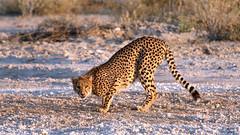 Cheetah - Acinonyx jubatus (jaytee27) Tags: cheetah namibia acinonyxjubatus naturethroughthelens canoneos7dmarkii