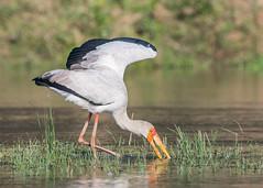 Yellow-billed Stork (tickspics ) Tags: africa zambia storks lowerzambezi birds yellowbilledstork ciconiidae mycteriaibis
