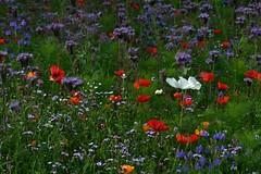 Wildflower garden (Maureen Pierre) Tags: xt2 fujifilm wildflowers garden christchurchbotanicgardens poppy cosmos purple red blue
