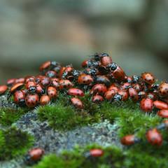 Ladybugs! (tiffani.fallen) Tags: ladybug ladybugs forksofbuttecreek buttecounty norcal northern california buttecreek