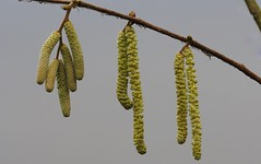 Catkins 030119 (3) (Richard Collier - Wildlife and Travel Photography) Tags: flora wildflowers flowers british catkins macro closeup