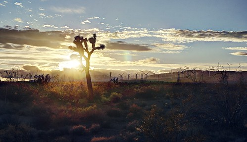 A lonely Joshua tree in the Mojave Desert