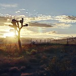 A lonely Joshua tree in the Mojave Desert thumbnail