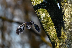 out of the shadows (jeff.white18) Tags: owl boobook flight nature bird nikon feathers flickr