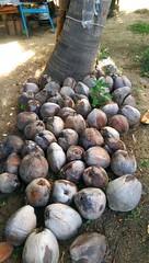 IMAG1019 - Copy copy (SuziE010) Tags: mexico coconuts tropical tree