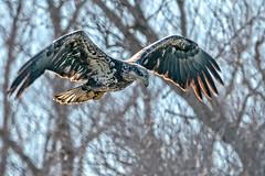Eagle in Flight #37 (lennycarl08) Tags: baldeagle eagle sacramentonwr raptor birdofprey
