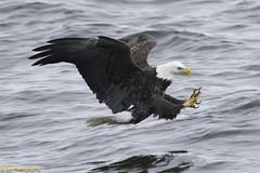 BaldEagle_Grabing_Fish_LD14-2 (Saisiva Sababathy) Tags: bald eagle baldeagle talen baldeagletalons baldeaglefishing mississippi mississippirivereagles mississippieagle mississippibaldeagle illinoiseagle