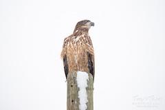 Juvenile Bald Eagle in the snow