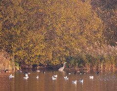 Birds in Autumn lake (dougskik) Tags: buckinghamshire bbowt calvert jubilee reserve heron blackheaded gull coot autumn