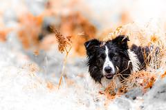 The Lady in Red (JJFET) Tags: theladyinredbordercolliedogmist border collie sheepdog dog herding black white