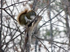Standing Guard (Meryl Raddatz) Tags: squirrel ngc nature naturephotography canada