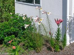 051211 032 (Vibeke Friis) Tags: 2005augdec clairmontheigths dvd2005augdec mygarden flowers garden inmygarden lillies onflickr