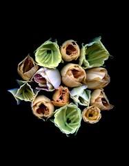 59317.01 Hemerocallis (horticultural art) Tags: horticulturalart hemerocallis daylily cutbuds buds bouquet