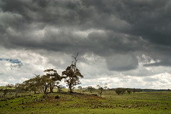 FORLORN (scatrd) Tags: 2018 sonya6000 sheep landscape monarohighway australia sony rural nsw ominous landscapephotography country roadtrip newsouthwales jasonbruth e1670mmf4ossziess ominousclouds a6000 clouds holtsflat au