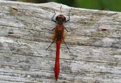 Ruddy Darter -Sympetrum sanguineum- Pulborough Brooks RSPB West Sussex (Ann Collier Wildlife & General Photographer) Tags: ruddydarter sympetrumsanguineum pulboroughbrooksrspb westsussex royalsocietyfortheprotectionofbirds rspbreserves dragonflies britishdragonflies dragonfly male red