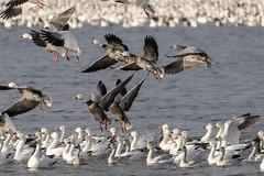 Snow geese (Lynn Tweedie) Tags: sigma150600mmf563dgoshsm loessbluffsconservationarea snowgeese canon 7dmarkii