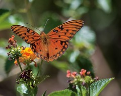 Lantana Visitor (ACEZandEIGHTZ) Tags: butterfly gulf fritillary agraulis vanillae lantana flower bokeh orange nikon d3200 flying insect nature wings macro closeup coth alittlebeauty coth5 sunrays5 ngc