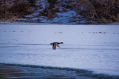 Off Somewhere? (dan.clayton) Tags: inglewoodbirdsanctuary baldeagle canadagoose canada calgary bowriver