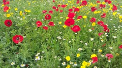 Wildflowers in Inverness, Sep 2018 (allanmaciver) Tags: poppies wildflowers field scattered inverness highlands scotland city admire enjoy allanmaciver