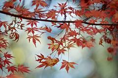 Autumn Leaves (andotime) Tags: autumnsky color chiba andotime sunnyday 秋 m42 япония vintagelensclub green a7 aasia tokyo botanical autumn 日本 sun japan manuallensonly wind light 紅葉