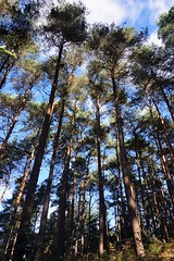 Pine trees by the South Downs Way 2 (Leimenide) Tags: north downs way pine trees nature autumn england surrey