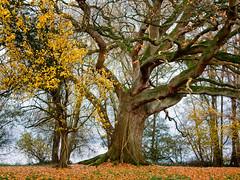 Der Große - the big one (sozl) Tags: baum baumstamm herbst alt rinde tree trunk autumn bark laub leaves woodland wald