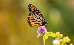 Monarch Eveing (Bernie Kasper (4 million views)) Tags: art berniekasper butterfly bug color d600 eyes evening family flower floral flowers fall hiking history indiana indianawildflowers insect insects indianabutterflies jeffersoncounty light madisonindiana macro nature nikon naturephotography new outdoors outdoor old outside photography plants photos raw orange sigma travel trail unitedstates usa wildflower wildflowers clover