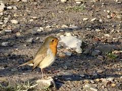 Robin, Mineslope, Blaen Bran, Upper Cwmbran 22 November 2018 (Cold War Warrior) Tags: erithacusrubecula robin cwmbran blaenbran