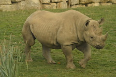 Eastern Black Rhinoceros (CoasterMadMatt) Tags: flamingoland2018 flaminglandresort2018 flamingoland flamingolandresort flamingo land resort themepark amusementpark theme amusement park parks englishthemeparks themeparksinengland flamingolandzoo2018 flamingolandzoo zoo zoos englishzoos animalpark animalparks animal animals enclosure enclosures easternblackrhinoceros easternblackrhino eastern black rhinoceros rhino dicerosbicornismichaeli attraction attractions kirbymisperton kirby misperton yorkshire yorks yorkshirehumber yorkshireandhumber england britain greatbritain great gb unitedkingdom united kingdom uk europe october2018 autumn2018 october autumn 2018 coastermadmattphotography coastermadmatt photos photographs photography nikond3200