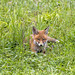 Cute baby fox lying in the grass