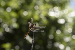 Bokeh games (Ce Rey) Tags: bokeh nature insect dragonfly libélula contraluz backlight backlit naturaleza flickrchallengegroup flickrchallengewinner odanata