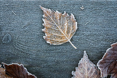 Frozen leaf (jan.kodet) Tags: breccia botanical creeping thyme textured arecaceae gulf salerno hydrangea full frame cultivated colourful leaf st johns frozen fall autumn cold