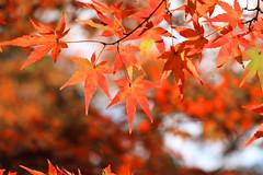 Maple leaves (yukky89_yamashita) Tags: 紅葉 もみじ 京都 大山崎町 宝積寺 宝寺 temple kyoto oyamazaki japan autumn leaves
