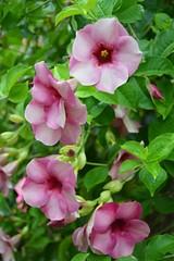 Pink Allamanda (Seventh Heaven Photography - (Flora)) Tags: pink allamanda flowers flora blooms nikon d3200 leaves