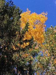 Hickory Gold (karma (Karen)) Tags: baltimore maryland home backyard trees hickory leaves fallcolors htmt topf25 cmwd iphone