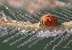 Miss Lady beetle (bug eye :) Thailand) Tags: macro insect animals beetle dew droplets